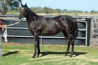 L298 Key Business-Tribulot filly