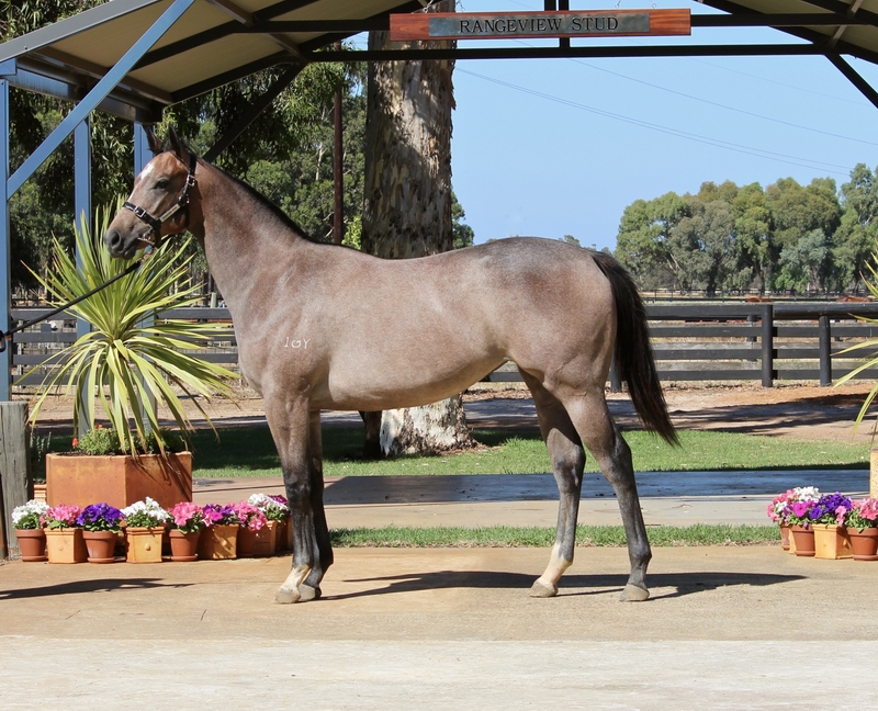 Lot 17 Galah x Busters Icon filly