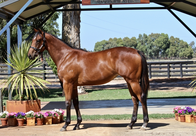 Lot 175 Galah x Bold Gold filly