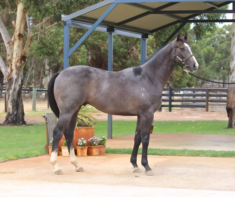 Lot 186 Galah x Busters Icon colt from winning city dam a half sister to G3 and Listed winner BEYOND DISPUTE