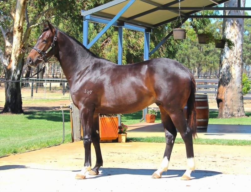 Lot 220 Galah x Hi Drama colt from a winning Bletchley Park mare and half brother to 2 winners