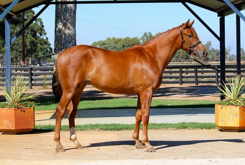 Lot 293 filly Trade Fair x Just Maud - First foal dam half sister COOL TRADE 7w $568k Listed winner 10 Listed places
