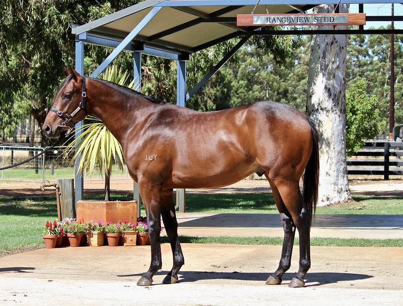 LOT 294 GALAH out of TUDOR ROYAL colt. Oratorio mare winner of 9 races third foal dam of two to race. Family of KAYSART, MUROS, POLO PLAYER.