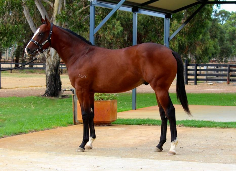 Lot 297 colt Galah x Kings Advantage