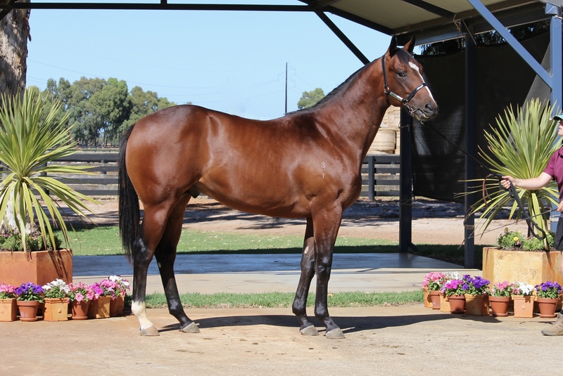 Lot 305 Galah x Royal Tudor colt
