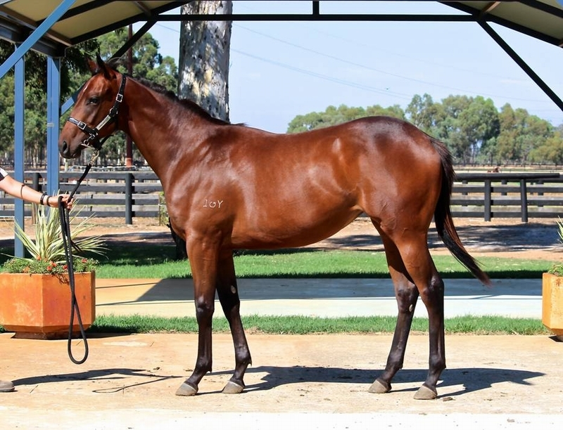 Lot 335 filly Galah x Maybe Us - First living foal from winning Elusive Quality mare grnd dam 6 winners fromAust Chmp 4 yr mare FLITTER