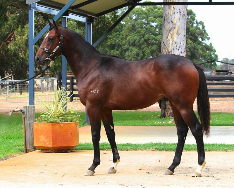Lot 46 colt Galah x Royal Minx