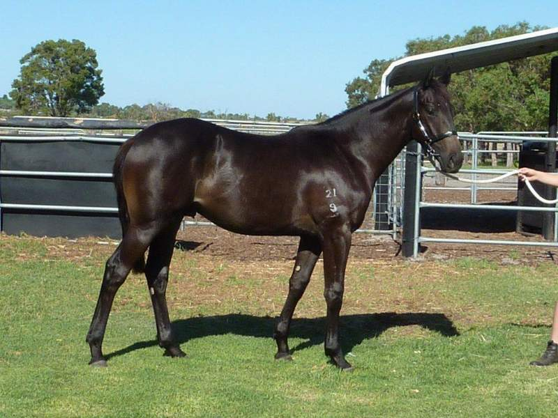lot 159 Black Brown Colt Key Business-Saraab