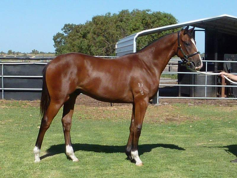 lot 345 Bay Colt Natural Blitz-Communique