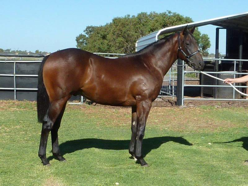 lot 53 Bay or Brown Colt Flying Pegasus-Marri Park Special