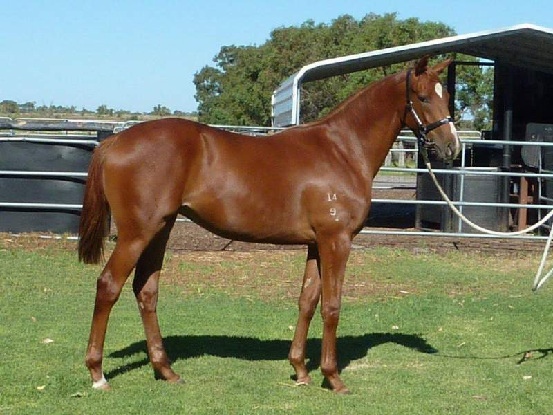 lot412 Chestnut Filly Key Business-Graceton