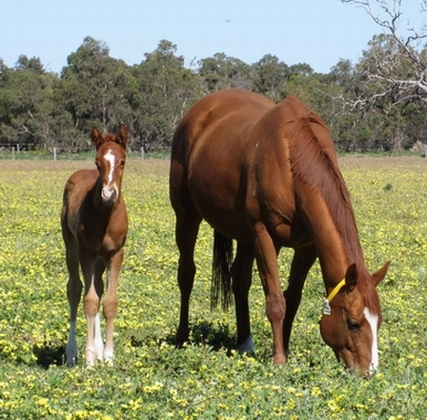 Apple Crumble and her Ad Valorem colt