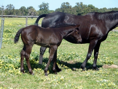 So Secret-Conamore filly 4 weeks